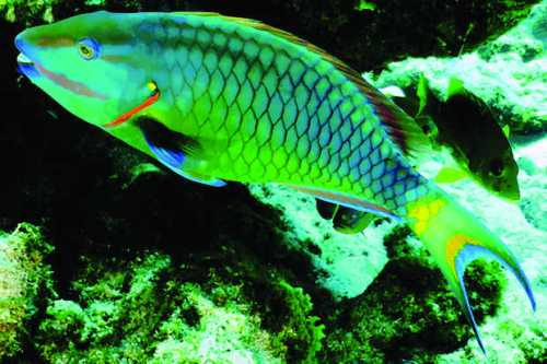 The decline of the parrotfish is one of the reasons behind the reef's decline. PHOTO BY DON RHODES