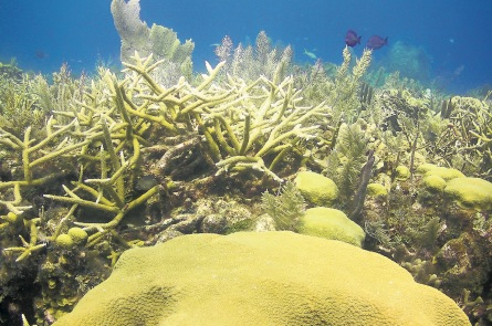 Staghorn coral (Photo: Renata Ferrarai)