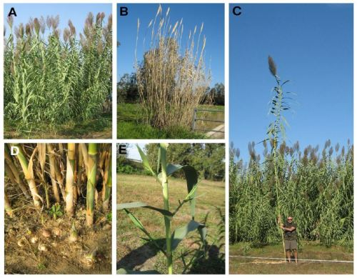 (A) A. donax flowering plants at maturity, at the end of summer; (B) In winter; (C) Single cane, reaching the height of 8 m; (D) Vegetative propagation by new rhizomes spreading from the old plants; (E) Young shoots sprouting from the nodes.
